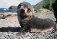 foca monaca