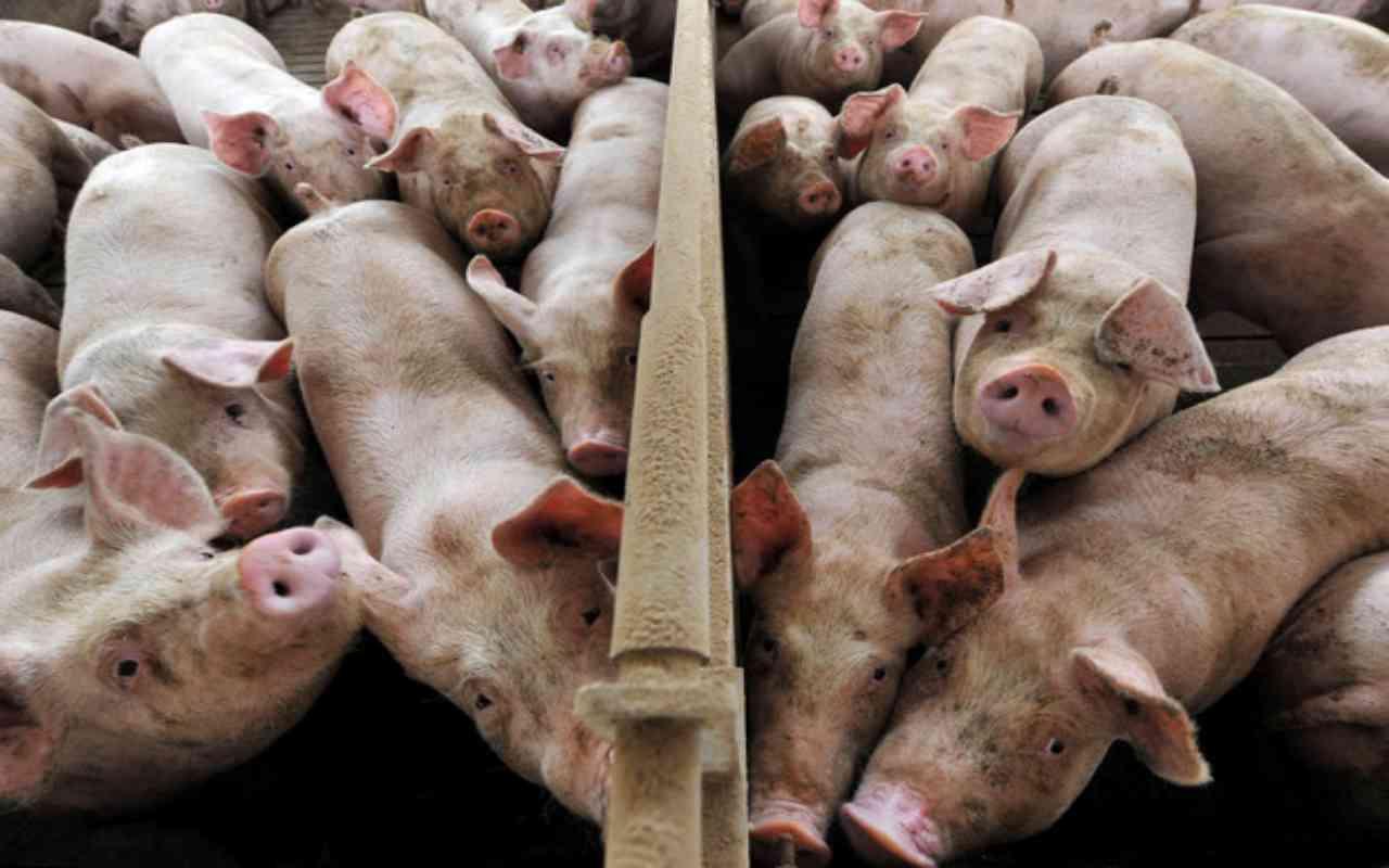 Maltrattamenti a danno di maiali di un allevamento