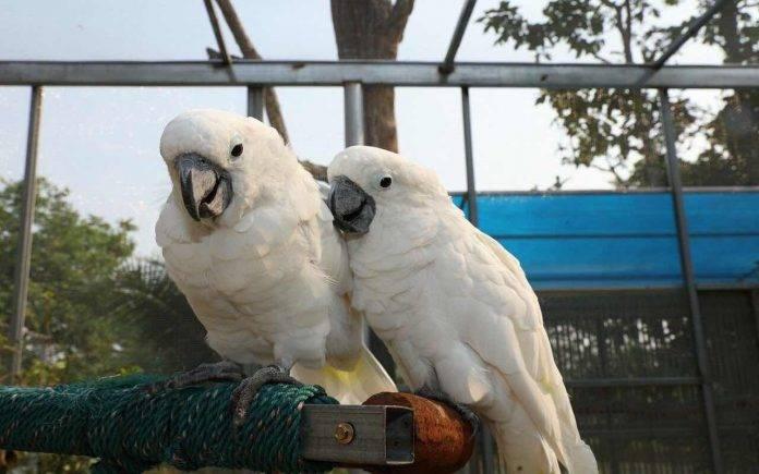 Traffico illecito di pappagalli dall'Indonesia